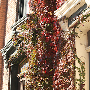 Autumn vines growing on side of houses